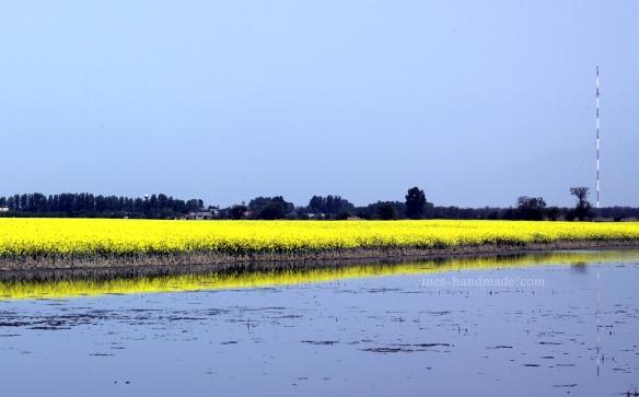 Rapsfeld neben überschwemmtem Feld